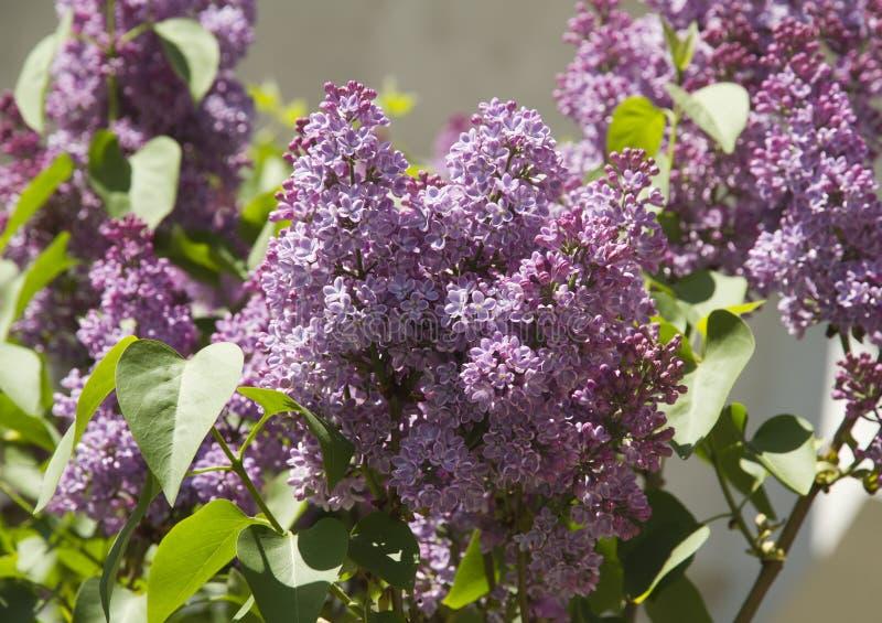 Lilac imagem de stock royalty free