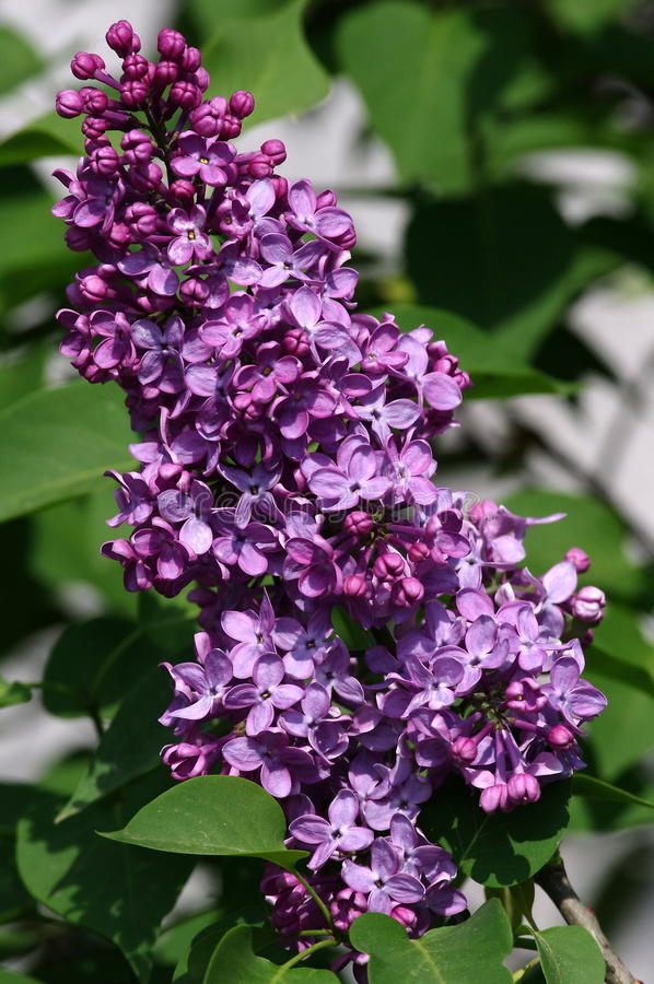 Download Lilac stock image. Image of fresh, green, copy, leaves - 24645599