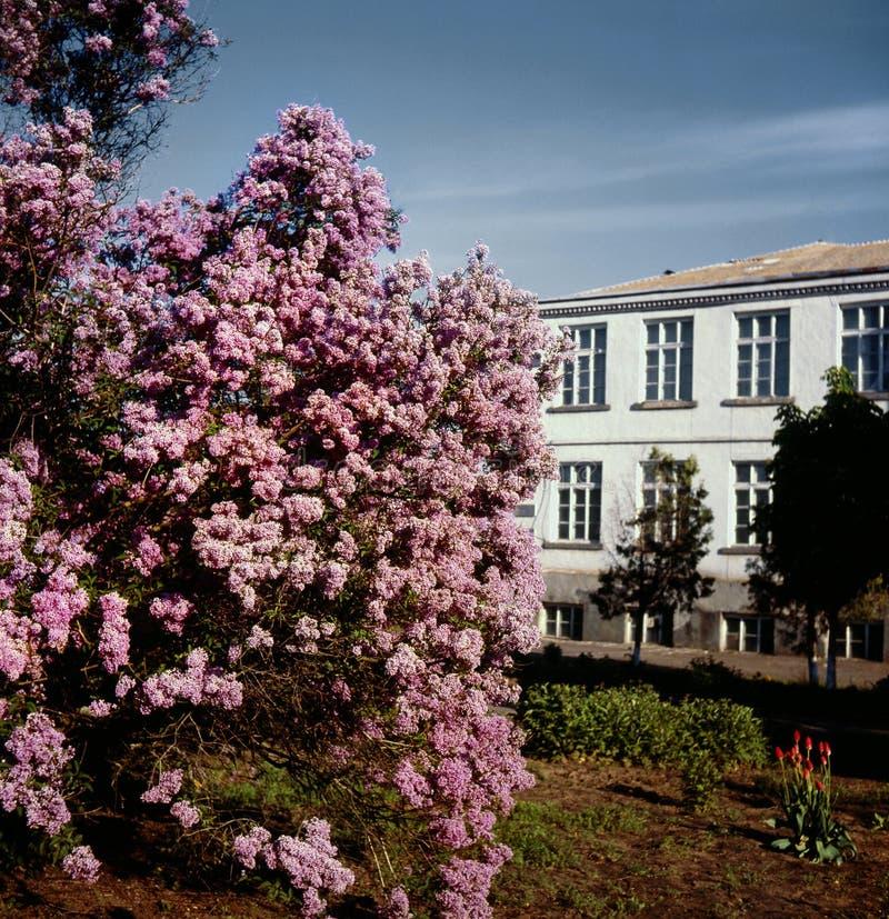 Lilac foto de stock