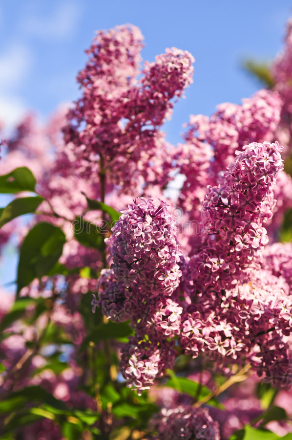 Lilac. Abundant flowers of purple lilac blooming in late spring royalty free stock photography
