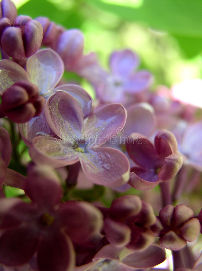 Lilac Fotos de Stock