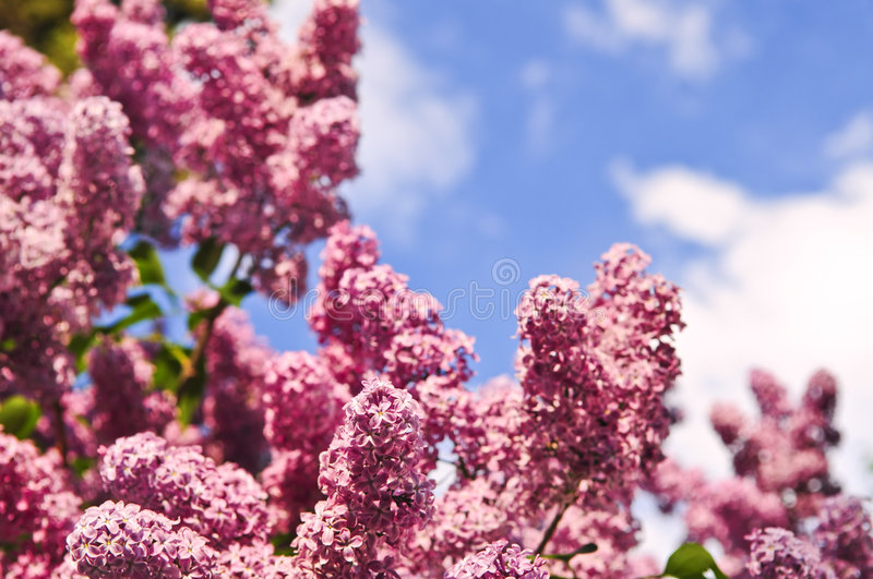 Lilac. Abundant flowers of purple lilac blooming in late spring royalty free stock photo