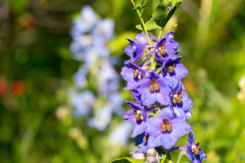 Lilac aardappel bloeit op een de zomerdag in de heldere zon, in openlucht royalty-vrije stock fotografie