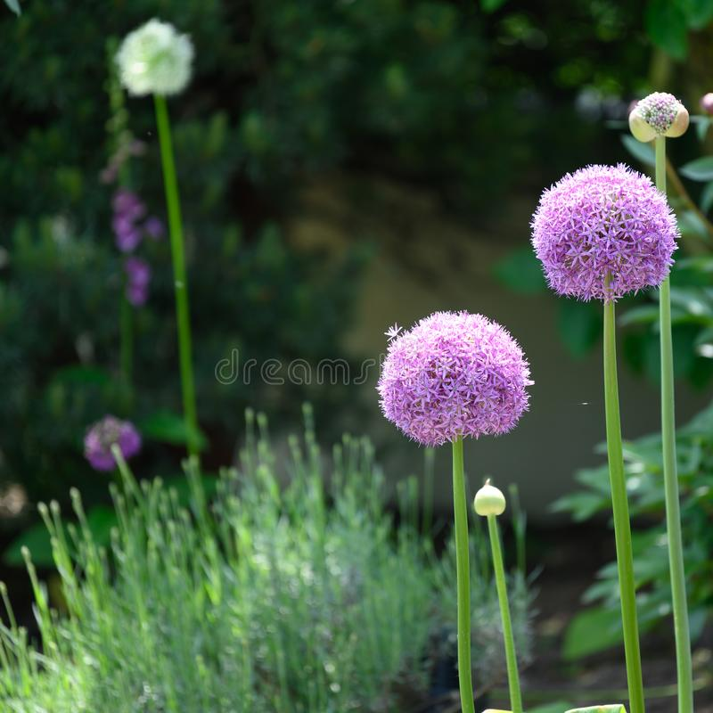 Lilac and white allium flowering in spring garden royalty free stock photo