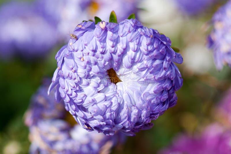 Lilac Astra-close-up op een achtergrond van bloemen stock fotografie