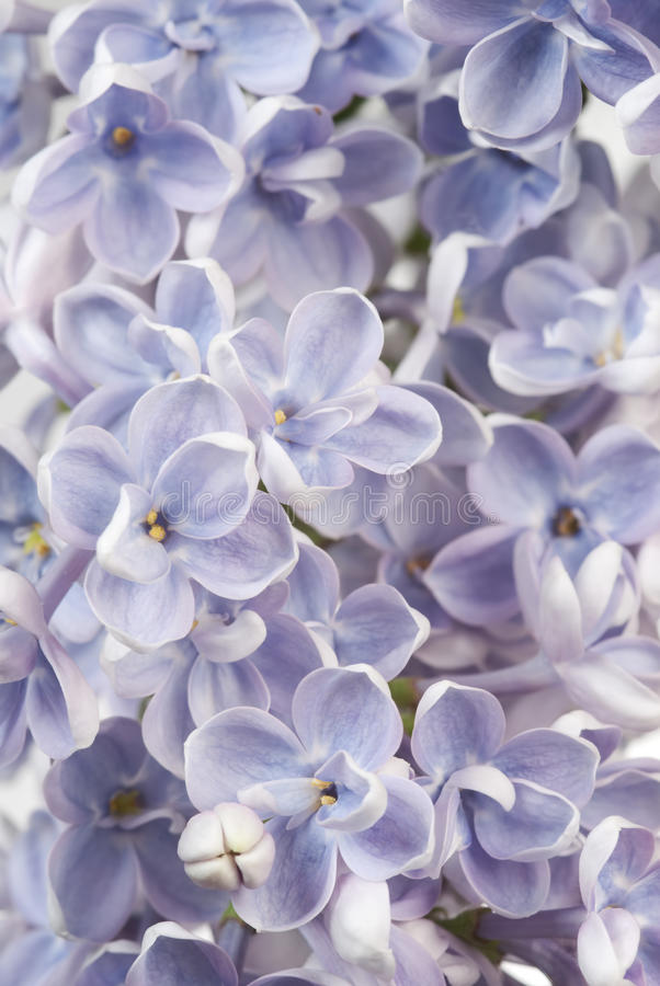 Download Lilac Background Stock Photos - Image: 19739983