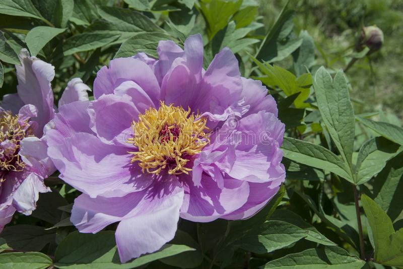 Lilac beautiful peony flower with foliage in a park. Close-up detail of violet-pink flowers. Close-up detail of  flower royalty free stock photography