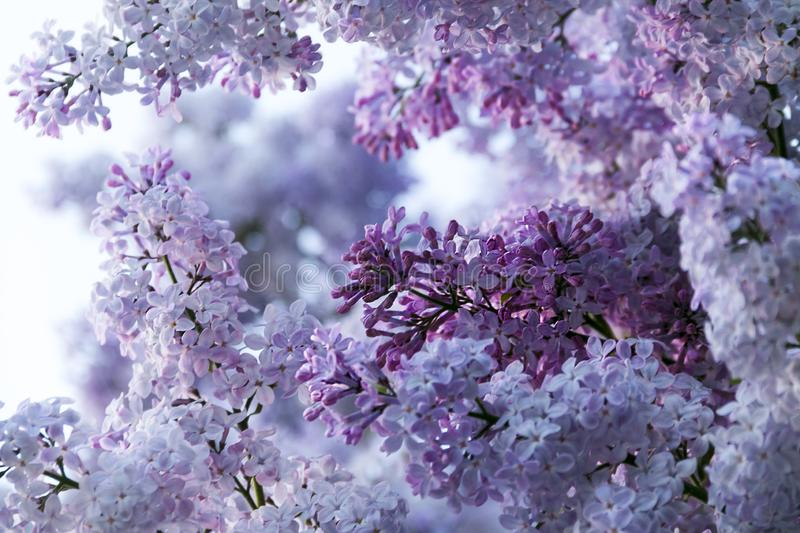 Lilac -  beautiful spring time. Garden and nature beauty. Beautiful flowering time royalty free stock photo