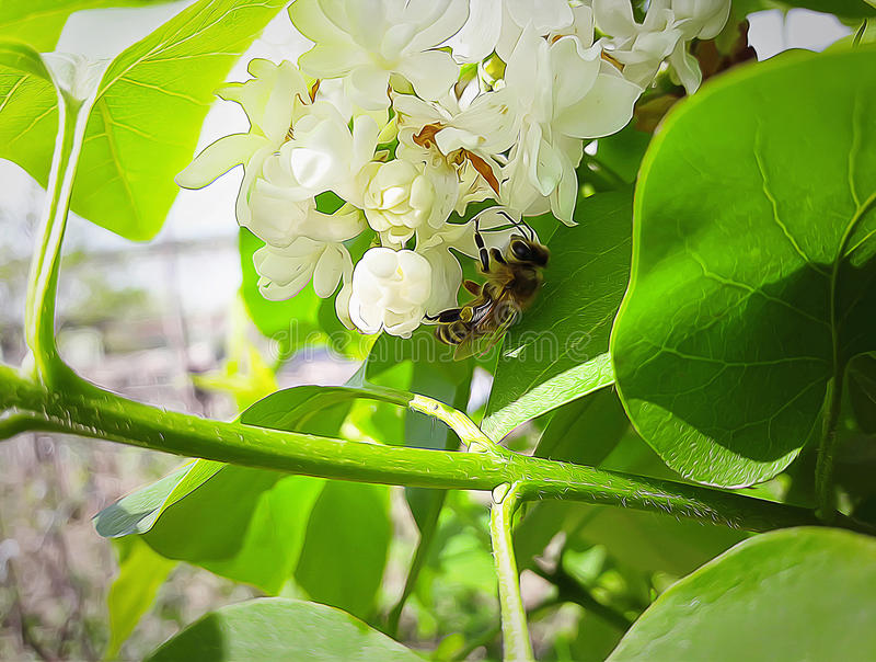 Lilac bee. Illustration of a bee collecting honey on white lilac flowers stock image