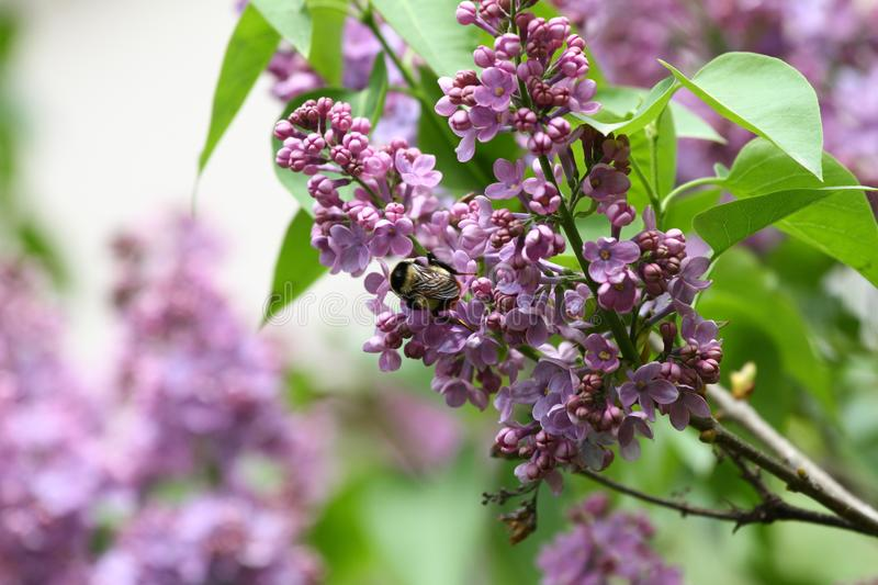 Lilac and bee. Lilacs or syringe and bee. Colorful purple lilacs blossoms with green leaves. Floral pattern. Lilac background text. Ure. Lilac wallpaper. No royalty free stock photo