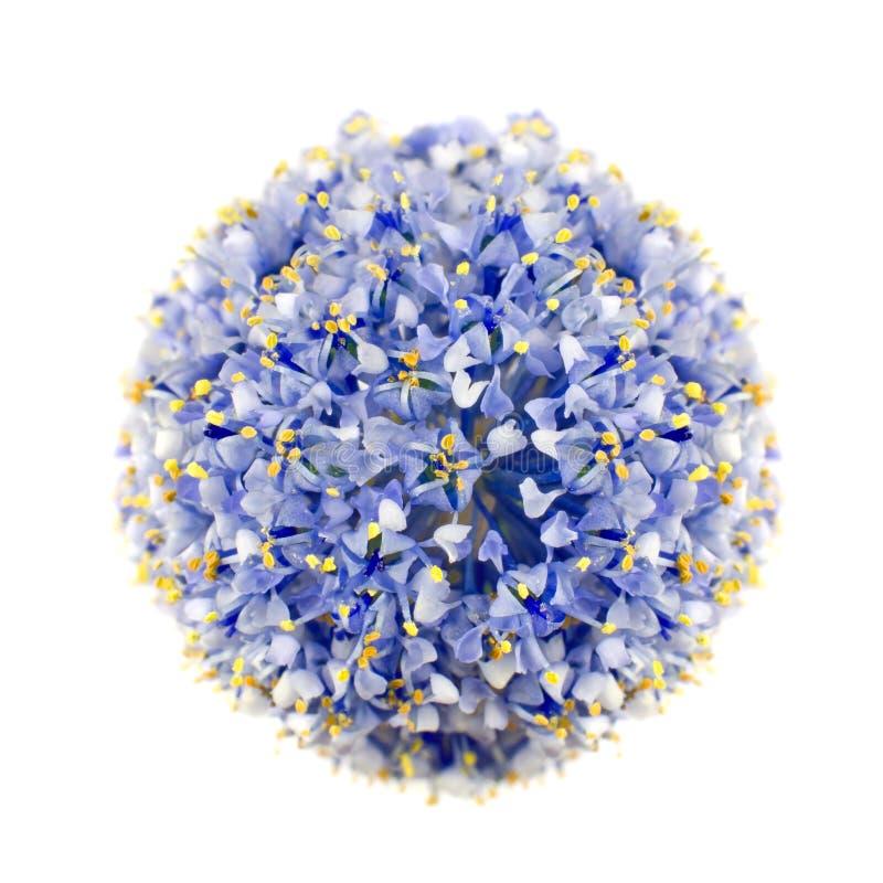 Lilac Blauwe Struik van Californië die op Wit wordt geïsoleerd stock fotografie