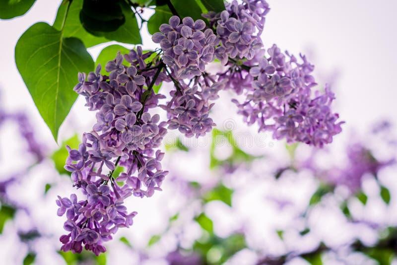 Lilac bloei royalty-vrije stock foto's