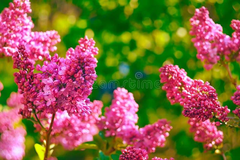 Lilac bloei in de lente stock foto's