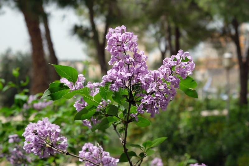 Lilac bloei in Wohl Rose Park in Jeruzalem royalty-vrije stock afbeeldingen