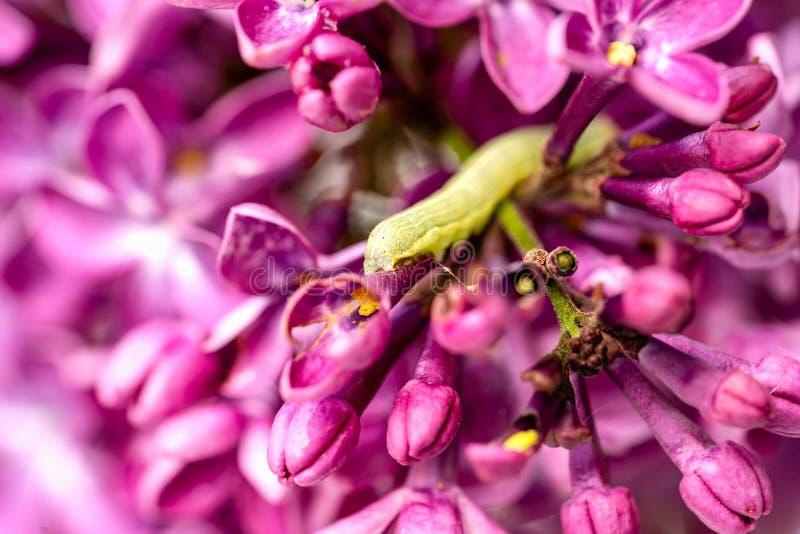 Lilac bloeiende tak, groene rupsband knaagt, bederft aan de bladeren stock afbeelding