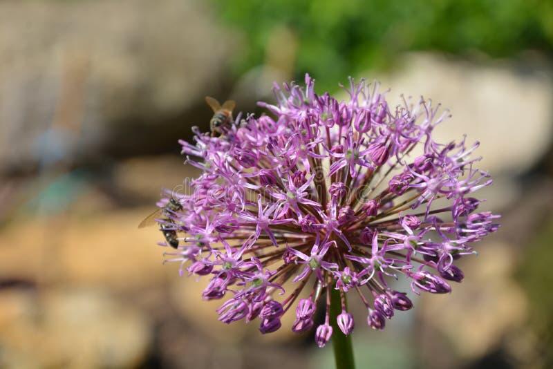 Lilac bloem waarop de bij zit royalty-vrije stock fotografie