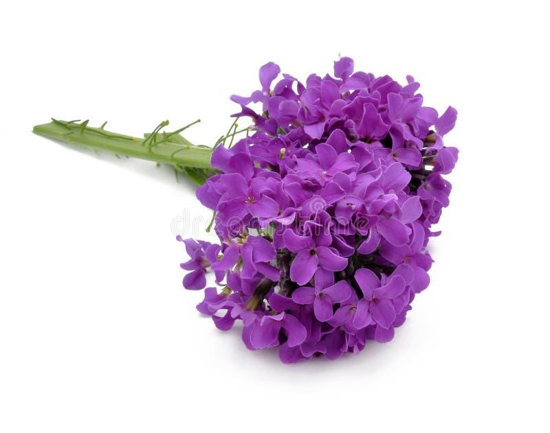 Lilac bloemen royalty-vrije stock foto