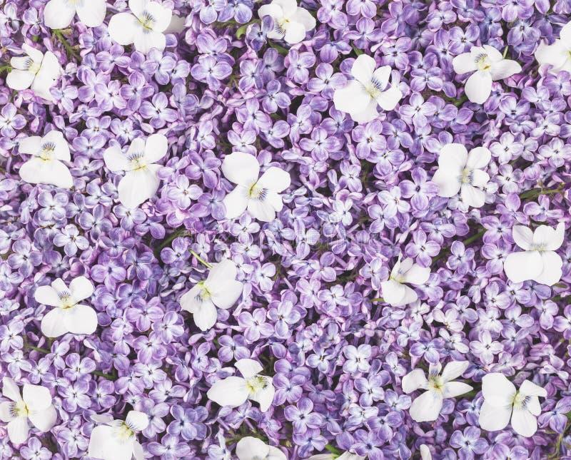 Lilac bloemen en witte viooltjeachtergrond Vlak leg stock illustratie