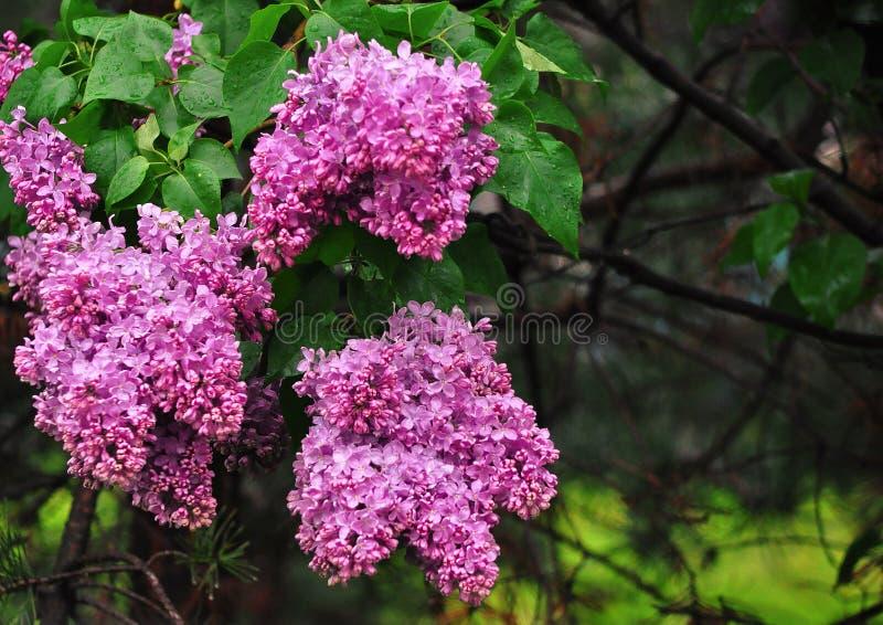 Lilac bloemen na regen op groene achtergrond stock afbeeldingen