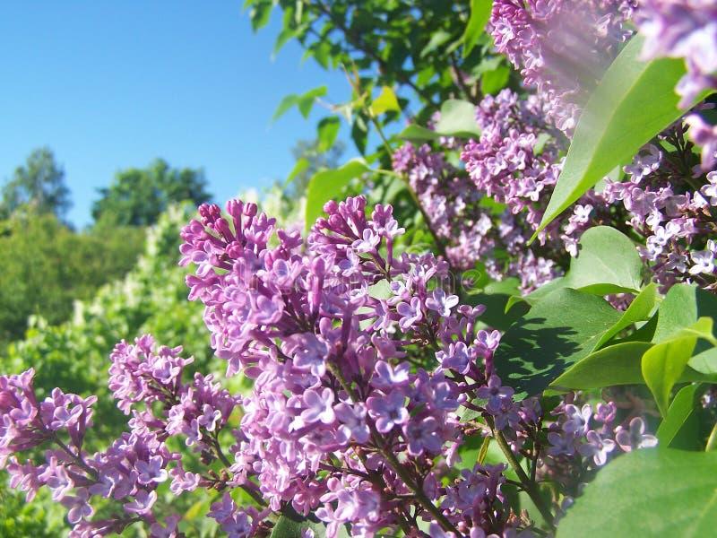 Lilac bloemen op zonnige dag stock fotografie