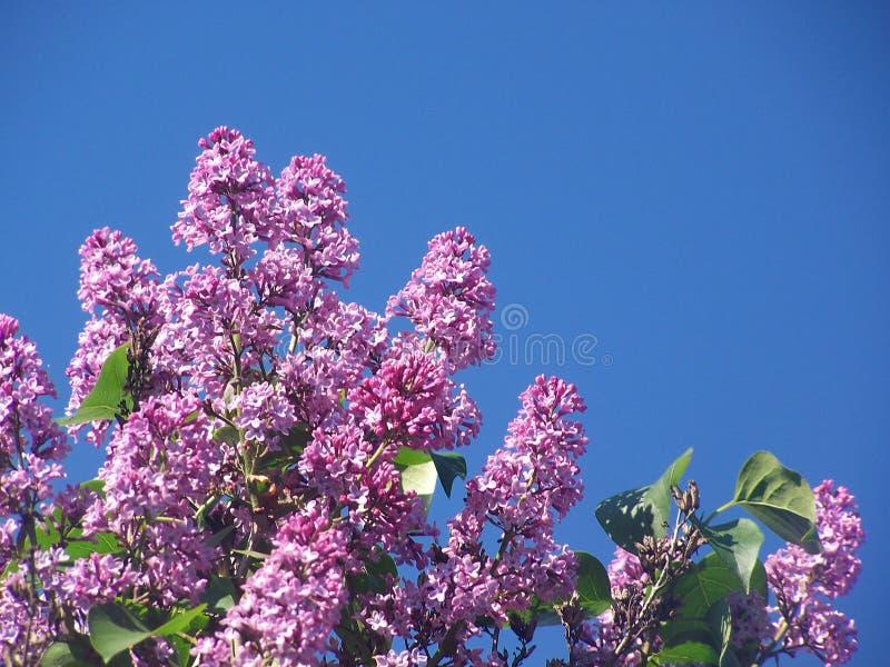Lilac bloemen op zonnige dag met blauwe hemelachtergrond stock afbeeldingen