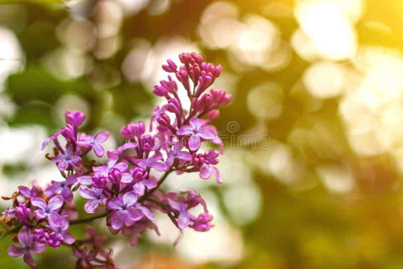 Lilac bloemen sluiten omhoog met zonstralen en bokeh de lente of de zomerachtergrond stock fotografie