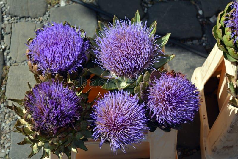 Lilac bloemen van artisjokken bij de zomerdag royalty-vrije stock afbeeldingen