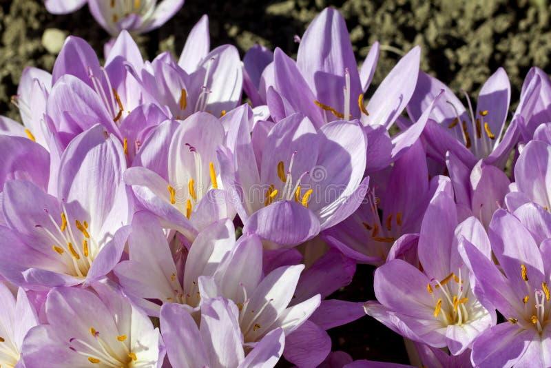 Lilac bloemen van colchicum autumnale in de tuin royalty-vrije stock afbeeldingen