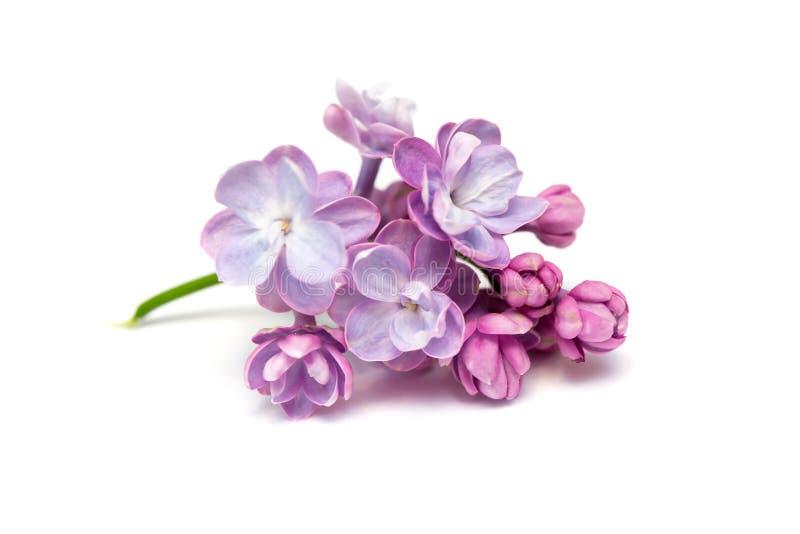 Lilac bloemen Witte achtergrond royalty-vrije stock afbeeldingen