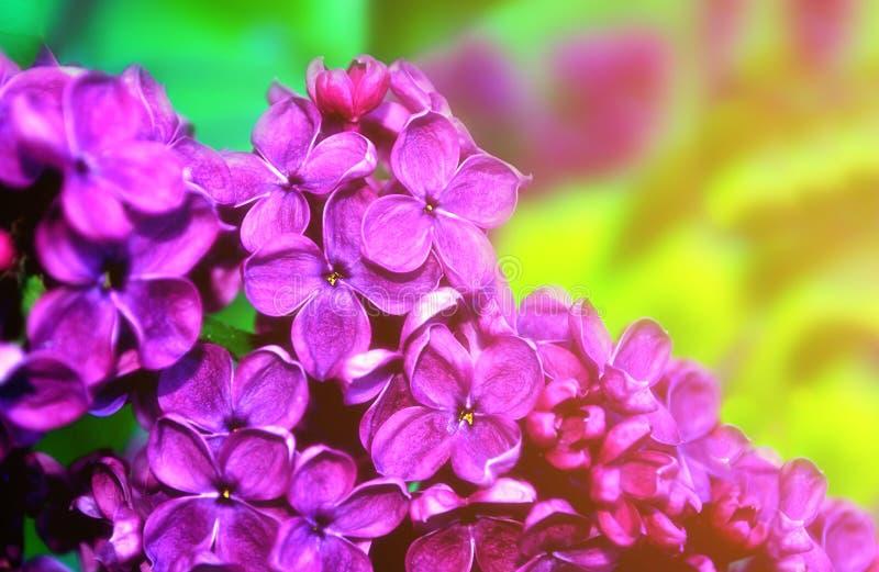 Lilac bloemen in zonnige tuin, springen bloemenachtergrond op stock foto