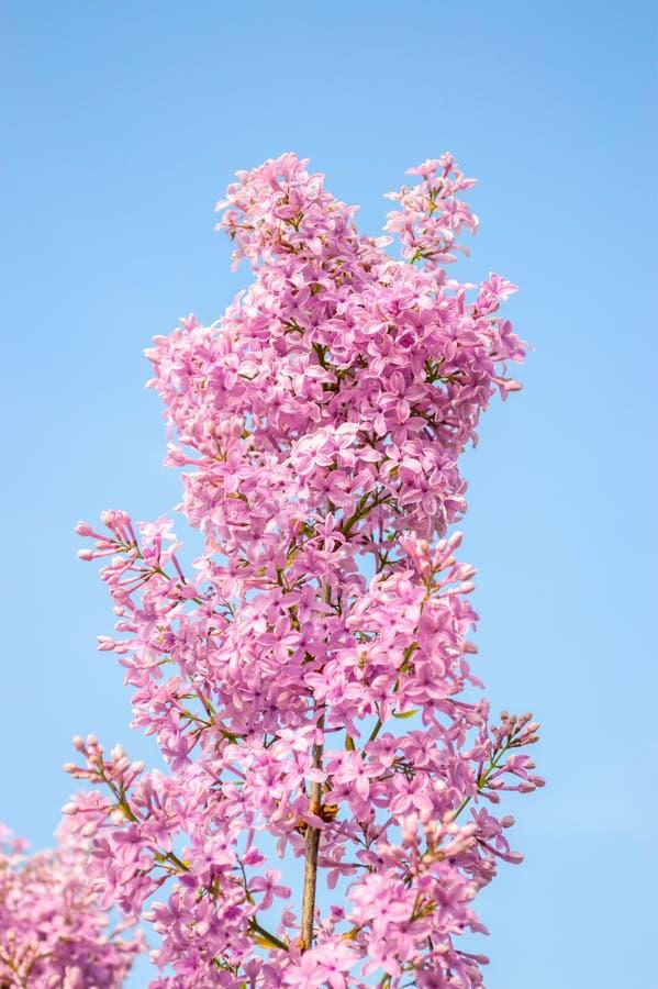 Download Lilac bloemenclose-up stock afbeelding. Afbeelding bestaande uit bloei - 54087207