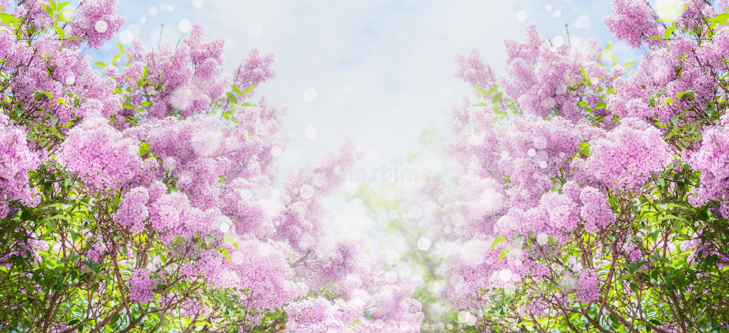 Lilac bloesem met bokeh over hemelachtergrond Openluchtaardachtergrond met sering die in tuin of park bloeien stock foto