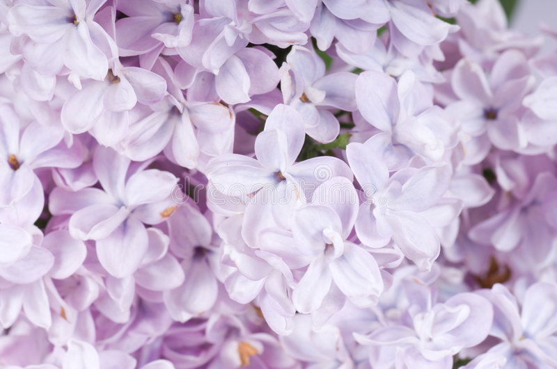 Lilac Blooming Twig Stock Photos