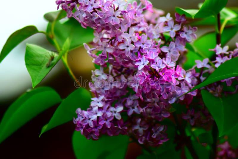 Lilac stock photos