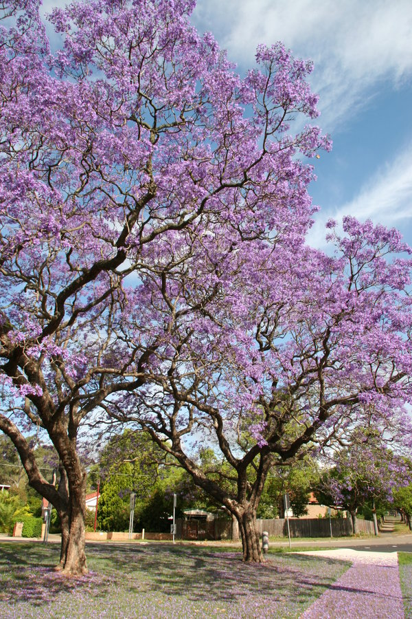 Lilac blossom on trees stock photos