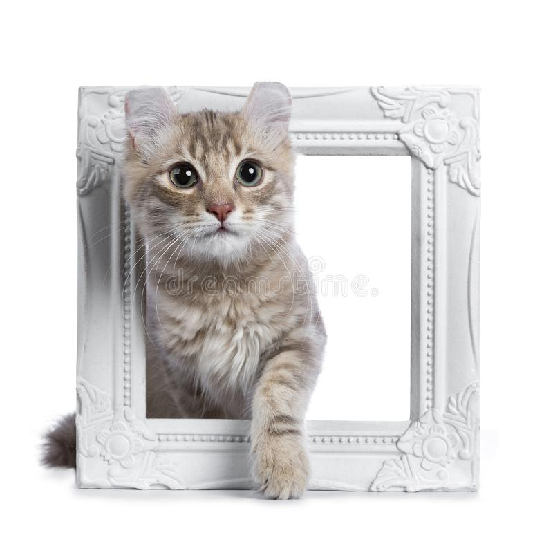 Lilac blotched american curl kitten isolated on white royalty free stock photos