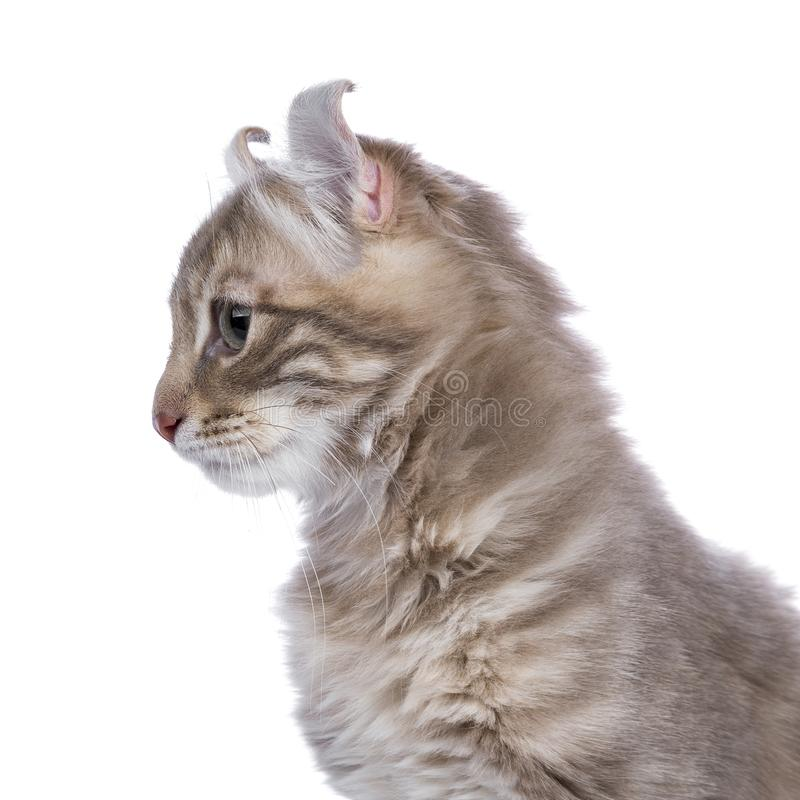 Lilac blotched american curl kitten isolated on white stock photo