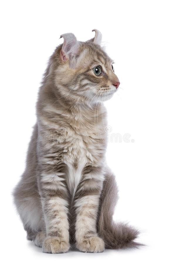 Lilac blotched american curl kitten isolated on white royalty free stock images
