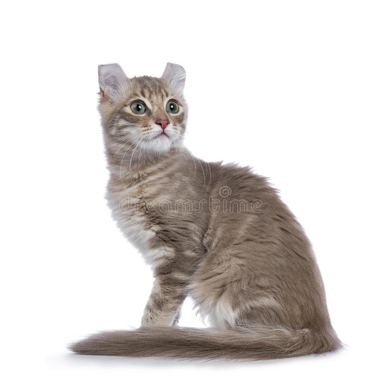 Lilac blotched american curl kitten isolated on white. Lilac blotched tabby American Curl cat / kitten sitting side ways looking up isolated on white background stock photos