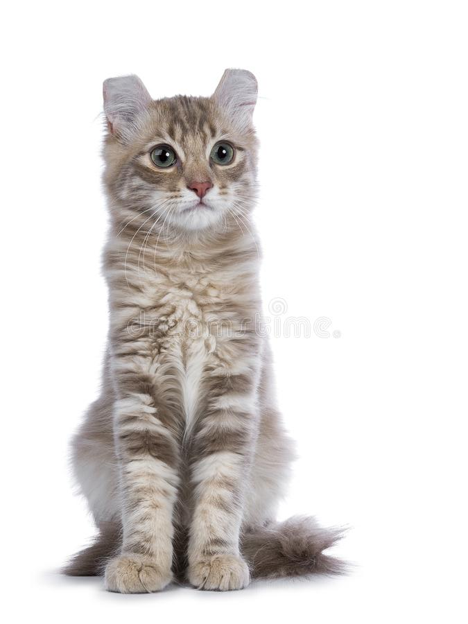 Lilac blotched american curl kitten isolated on white royalty free stock photo