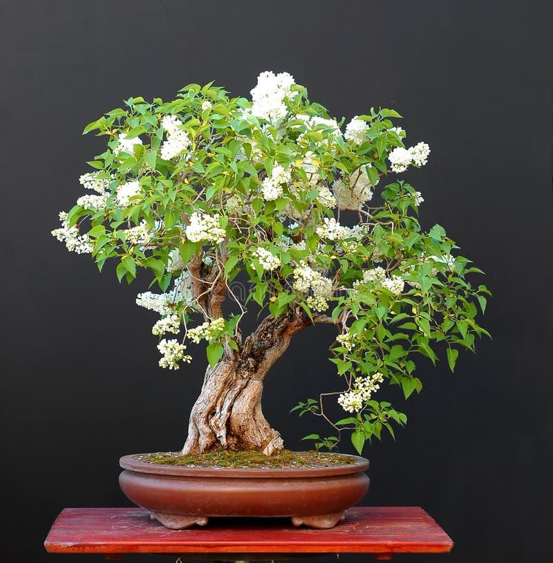 Lilac bonsai in blom royalty-vrije stock foto's