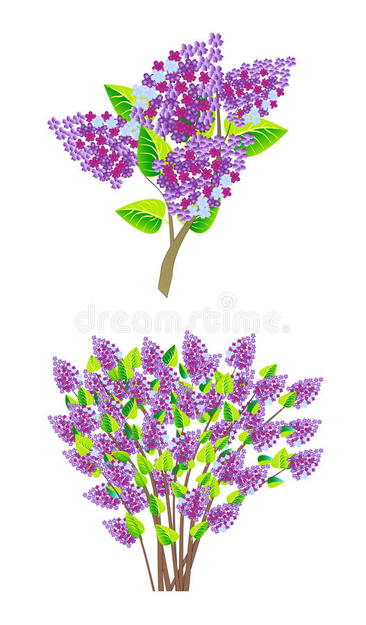 Download Lilac branch stock vector. Illustration of inflorescence - 23782929
