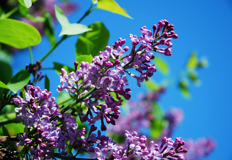 Lilac Branch Against Blue Sky Royalty Free Stock Image