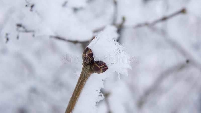 Lilac branch with buds in the frost.  stock photography