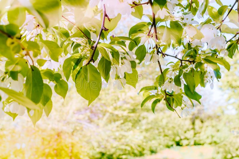 Apples branches spring royalty free stock photography