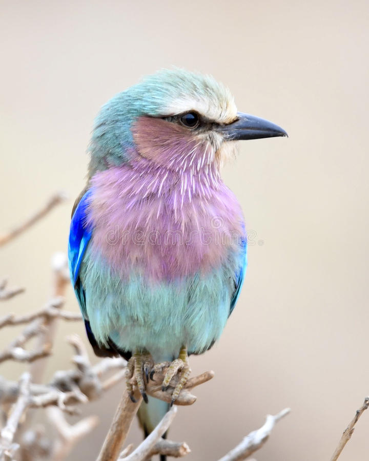 Lilac-Breasted Rol in een kleine boom stock foto