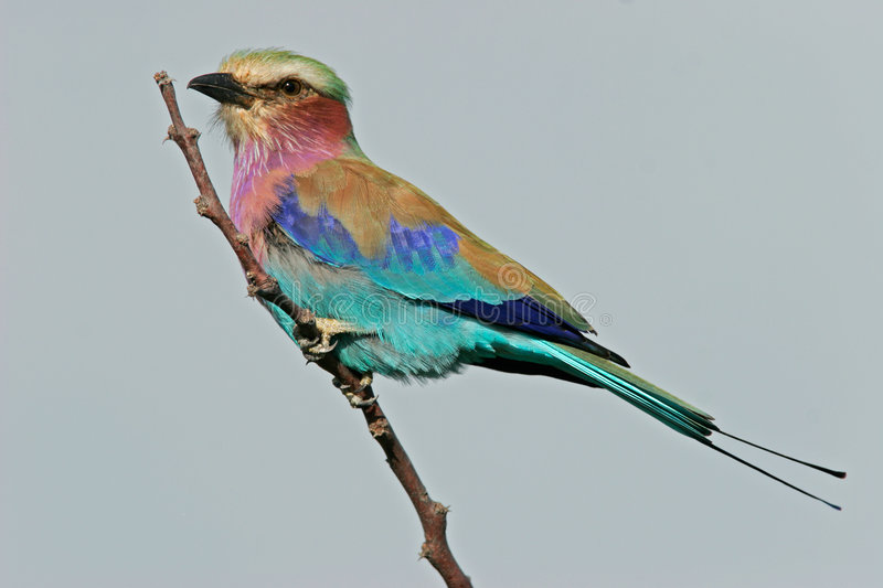 Download Lilac-breasted roller stock image. Image of africa, roller - 1230447