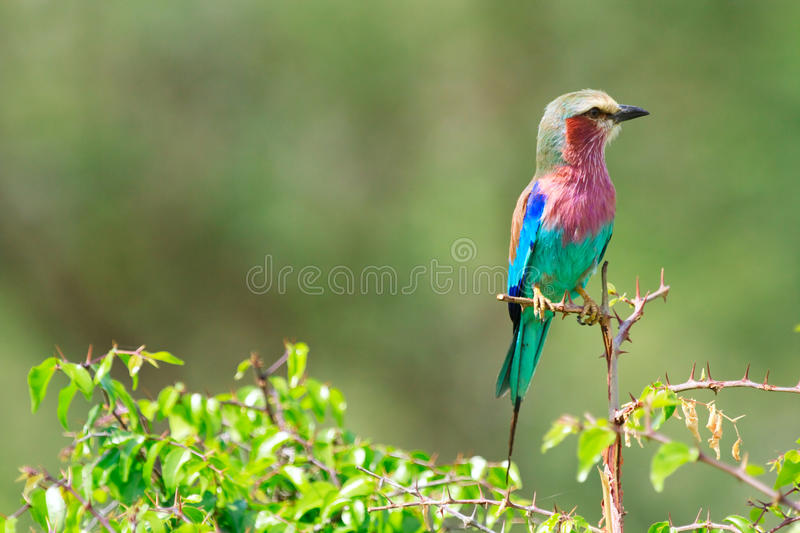 Download Lilac-breasted Roller Royalty Free Stock Image - Image: 12456776