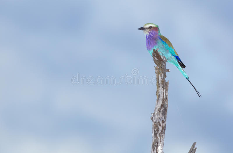Download Lilac-breasted Roller stock image. Image of branch, color - 14323289
