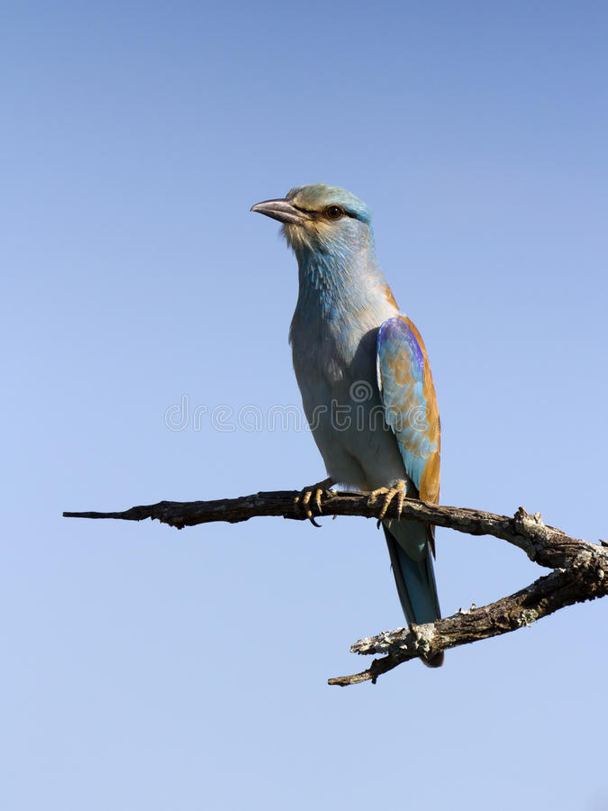 Download Lilac-breasted Roller stock image. Image of turquoise - 27288911